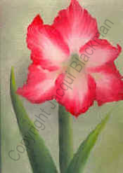 amaryllis front petals